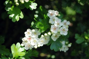 hawthorn in may 2012