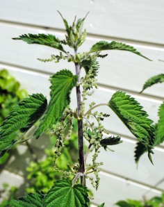 nettle flowers in june